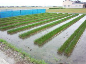 ①イ草を田に植え付け